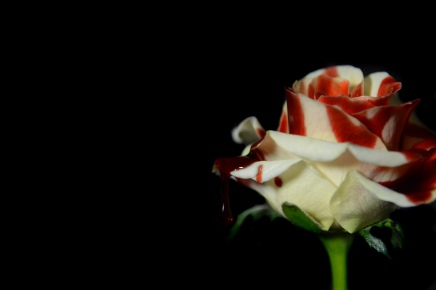Crimson and blush-cloddy white rose
