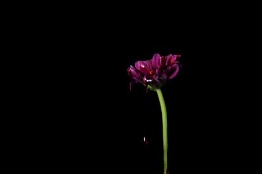 Crimson and blush-bloody purple flower