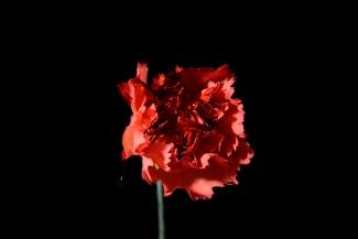 Crimson and blush-Bloody carnation